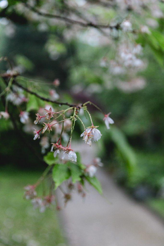 Kirschblütenzweig im Regen